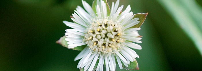 Bhringaraj: Getting to Know Your Herbal Allies