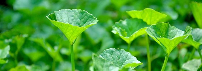 Brahmi/Gotu Kola: Getting to Know Your Herbal Allies