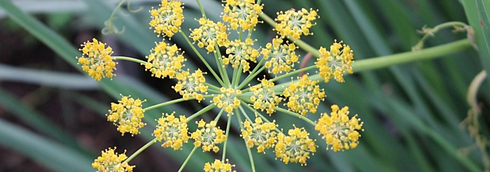 Fennel: Getting to Know Your Herbal Allies